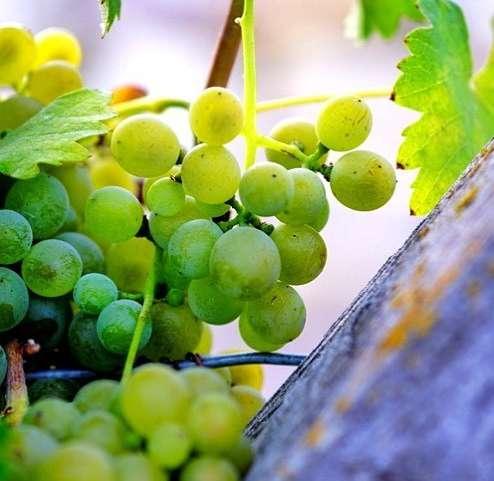 Morning rising in the vineyard