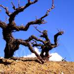 cyprus vineyards coming out of dormancy