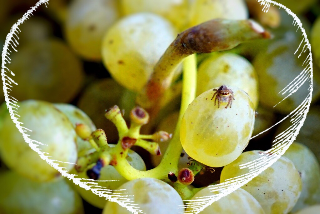 TheXyn - Cyprus Xynisteri Grape
